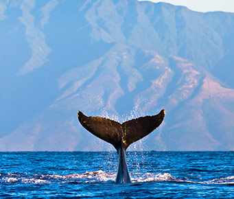 Best Free Maui Activities Watch Whales