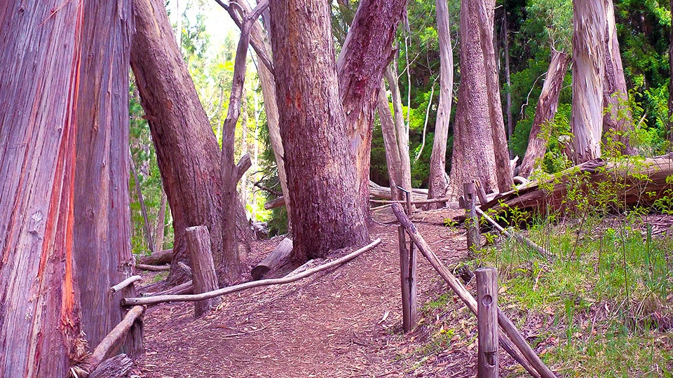 Top Maui Hike Hosmer Grove