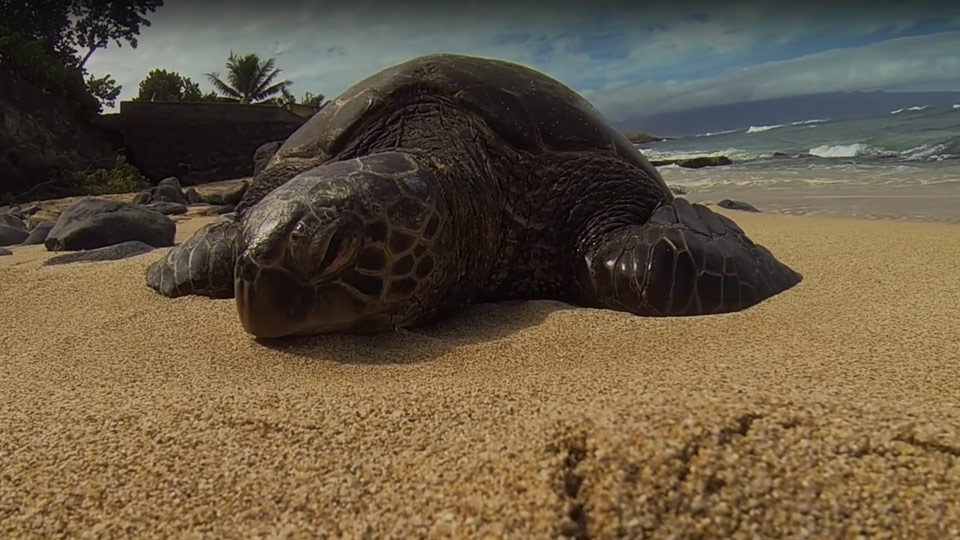 Best Maui Videos Sea Turtle