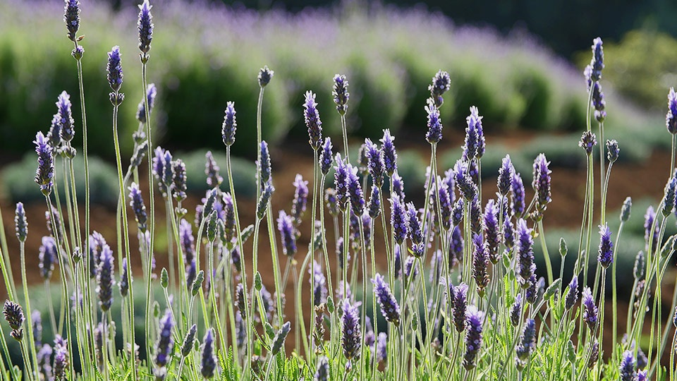 Best Plantation Maui Lavender Farm