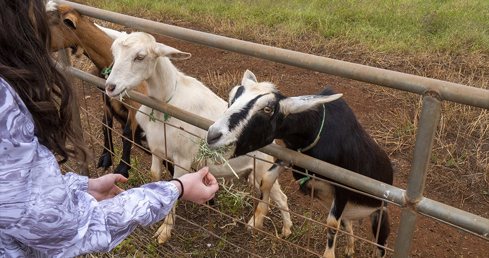 Maui Best All Organic Surfing Goat Dairy
