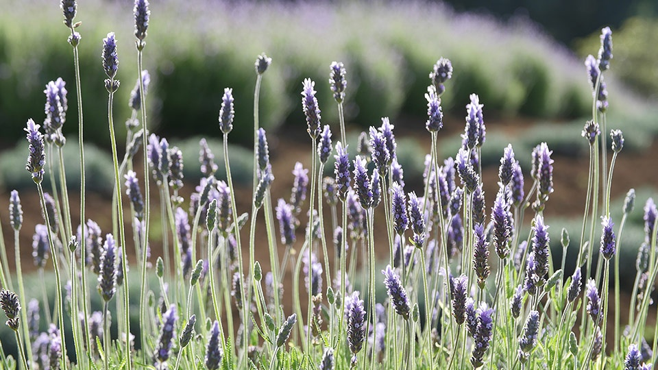 Top Budget Activities Maui Ali' Kula Lavender Farm