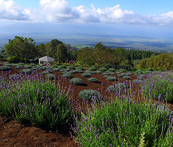 Best Budget Activities Maui Hawaii Lavender Farm