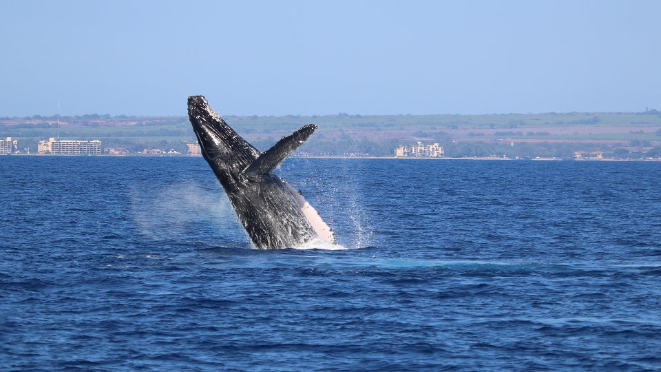 Best Budget Activities Maui Humpback whale