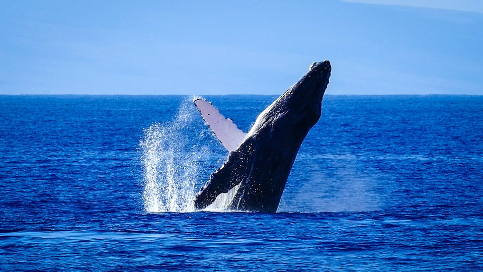 Best Kaanapali Maui Whale Watch