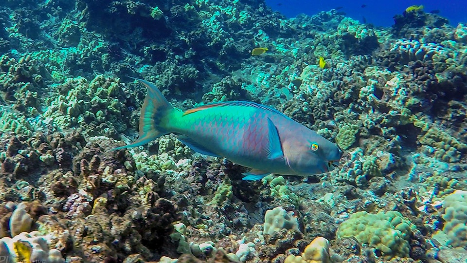 Save Hawaii Coral Reef Parrotfish