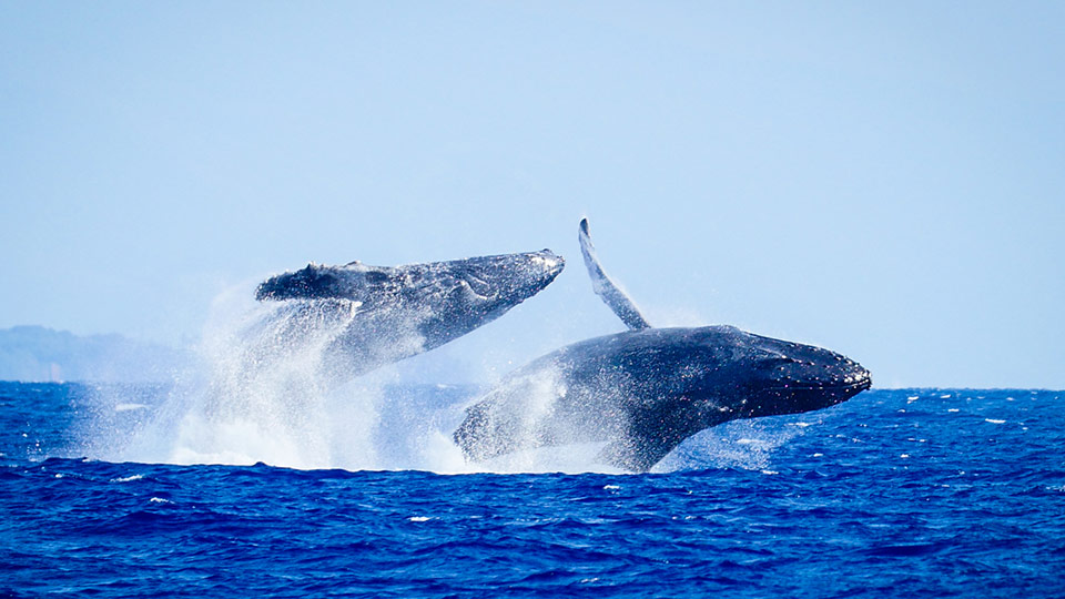 Best Maui Activities Whale Watch