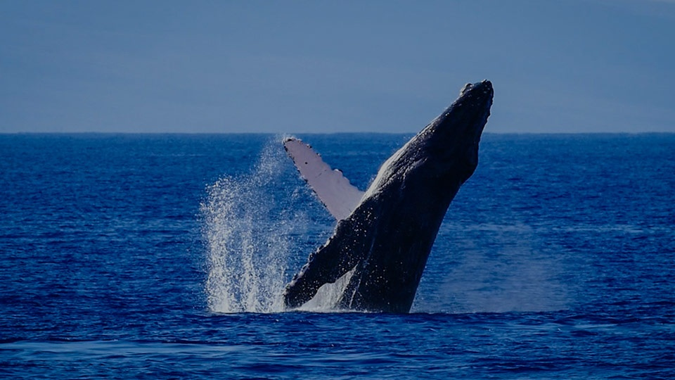 Top Maui Activities Whale Watch