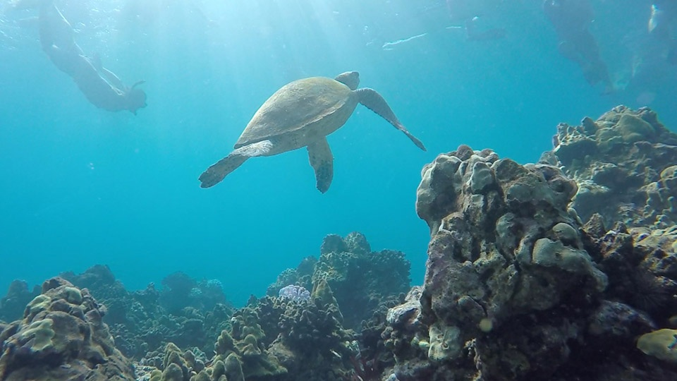Snorkeling with turtles on maui