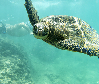 Hona - Hawaiian Green Sea Turtle