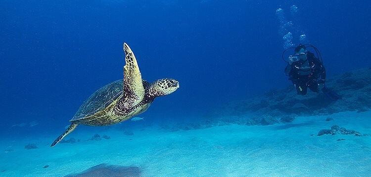 Best Maui Scuba Diving Turtle