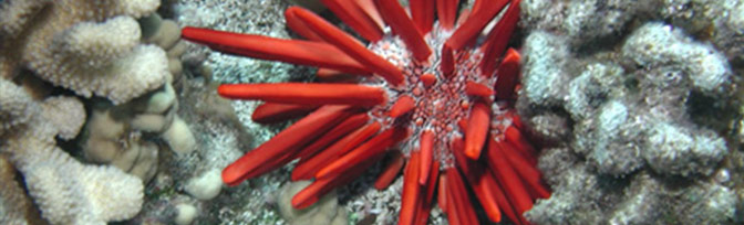 Slate-pencil Sea Urchin