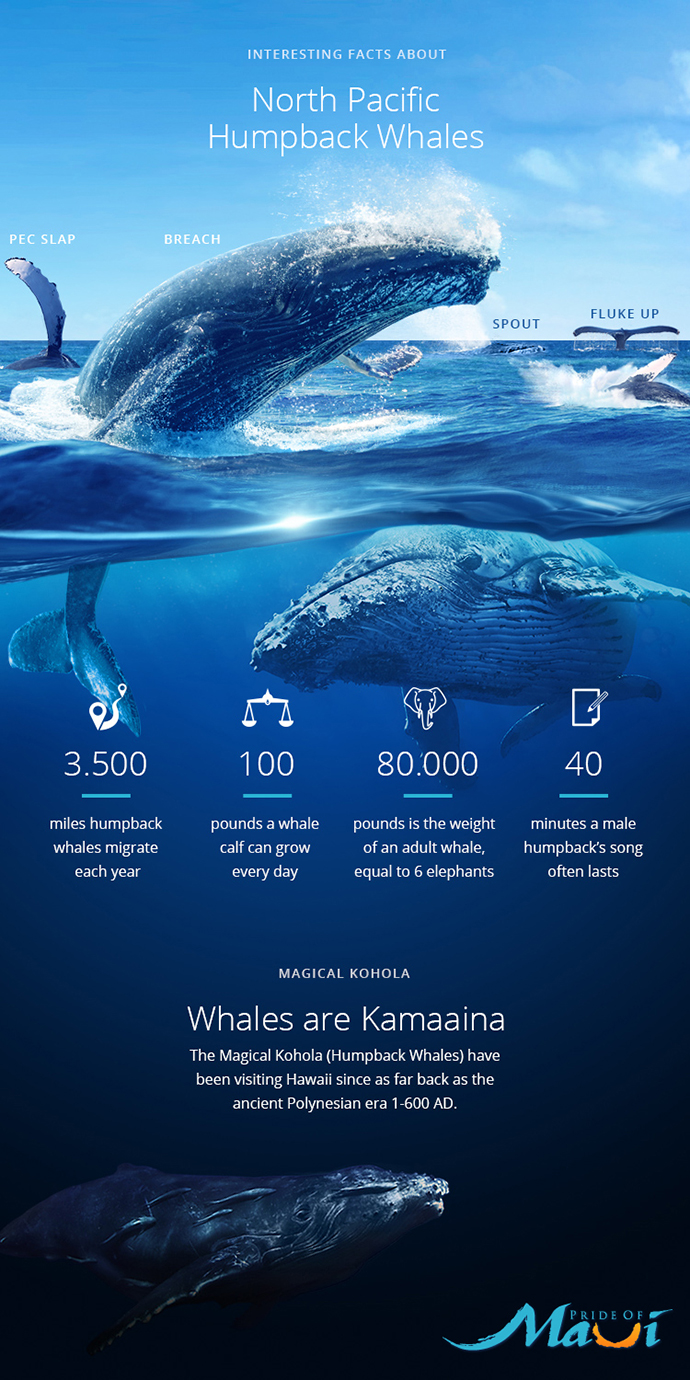 Interesting Facts about North Pacific Humpback Whales Infographic