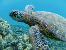 Green sea turtle swimming above the coral reef in Hawaii.