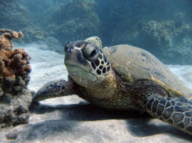 Maui Hawaii Best Snorkel Cruise Location Turtle Town