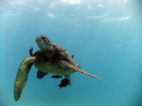 Best Snorkel Maui Location Turtle Town