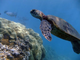Top Maui Hawaii Snorkel Location Turtle Town