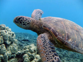 Turtle Town Maui Best Snorkel Locations