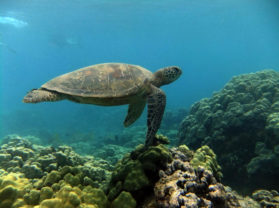Maui Best Snorkel Location Turtle Town